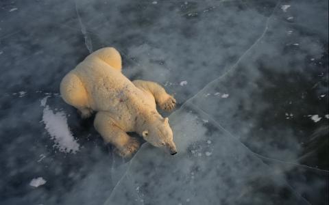 北极熊在冰上