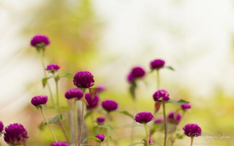 紫色庭院花