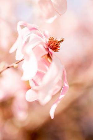 唯美望春玉兰花瓣