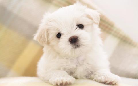 马耳他小狗