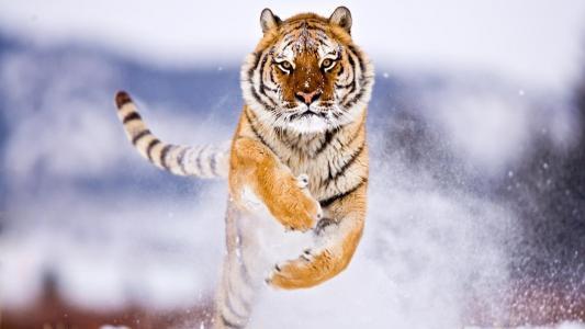 阿穆尔虎在雪地里