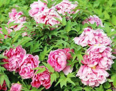 在花园里开花牡丹