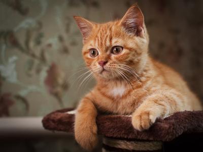 红头发的大胡子的猫