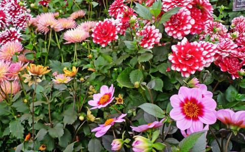 美丽多彩的大丽花在花坛上
