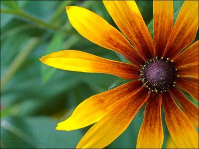 美丽的花黄金菊