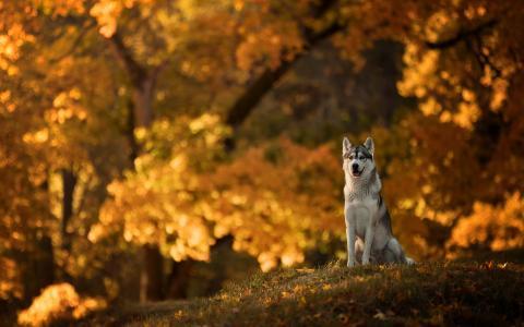 爱斯基摩犬的一只狗坐在秋天的公园里
