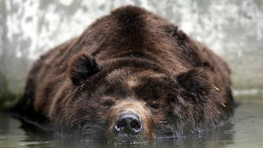 熊躺在水中