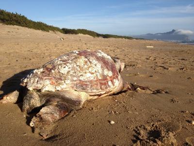在海滩的海龟在Sabaudia,意大利手段