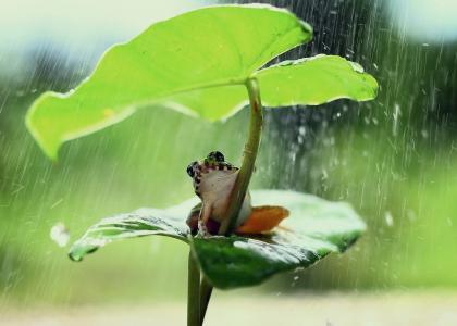 雨天荷叶下的青蛙