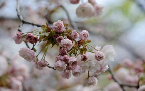 春天开花在日本