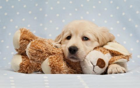 金毛猎犬的悲伤小狗躺在一个毛绒玩具上