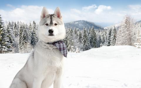 以积雪的自然为背景的阿拉斯加的爱斯基摩狗