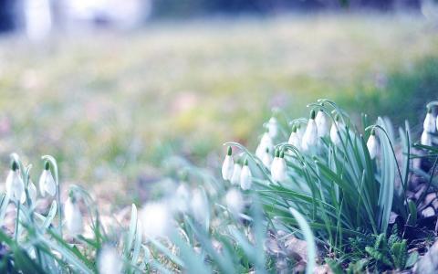 春天的第一场雪花莲
