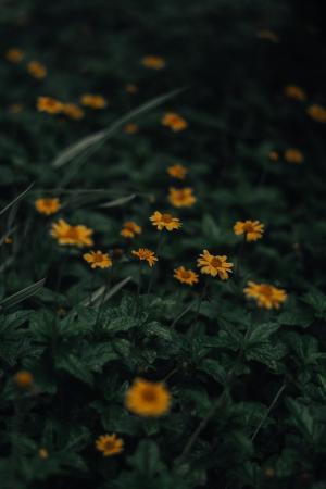 暗色调南美蟛蜞菊