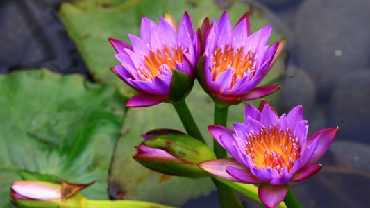 在水中三个温柔的丁香莲花