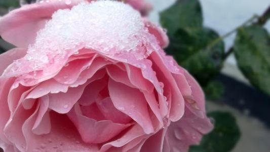 雪在一朵玫瑰