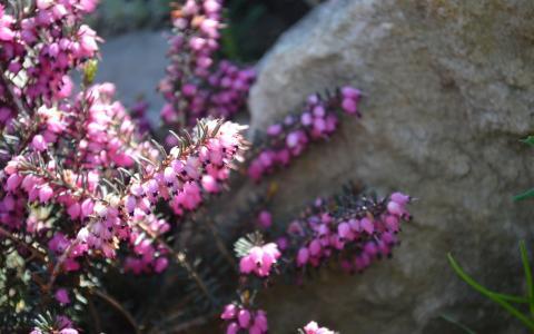 粉红色的花在石头附近的画笔