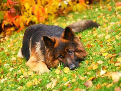 德国牧羊犬躺在秋叶之中