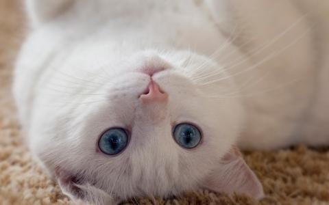 躺在后面的蓝眼睛的白色猫