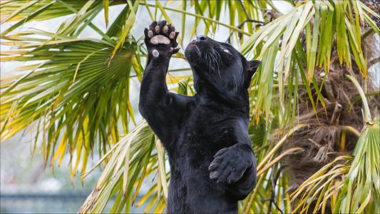 黑豹在棕榈树下站立在后腿上