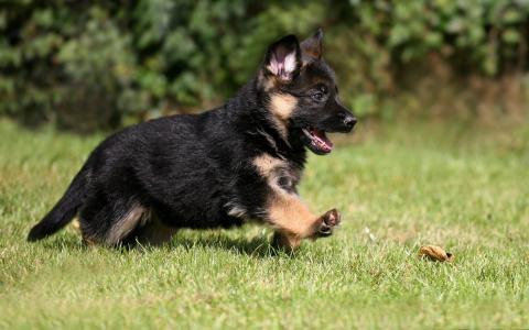 小狗德国牧羊犬在草地上奔跑