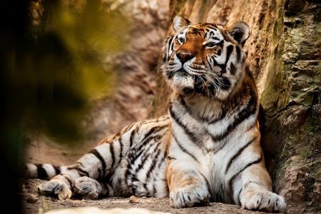大美丽的老虎休息