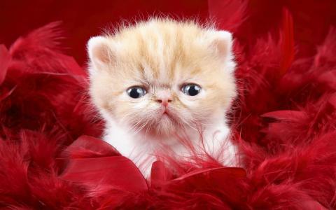 小猫在红色的背景上