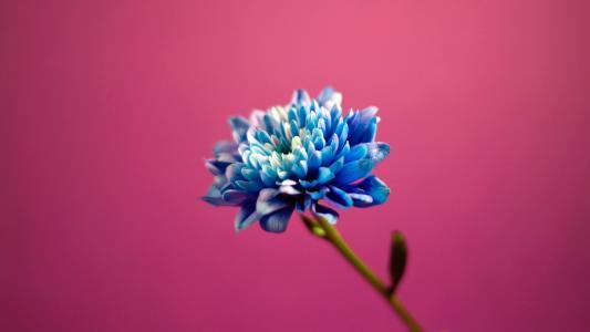 在粉红色的背景上的蓝色花