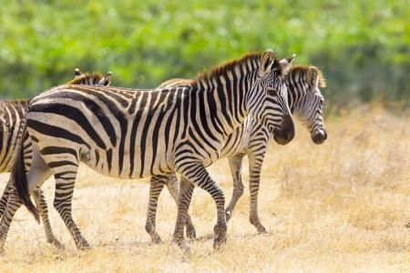 条纹的斑马走在干草地上