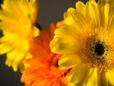 非洲菊黄色的花