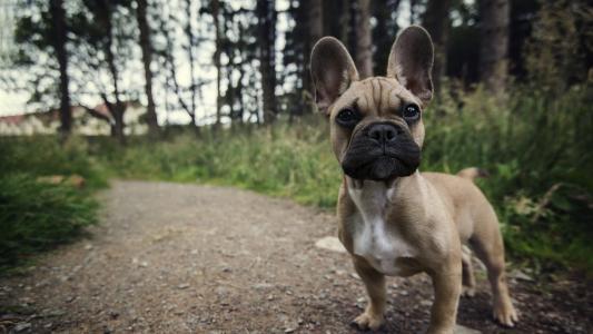 耳朵上的小狗在路上