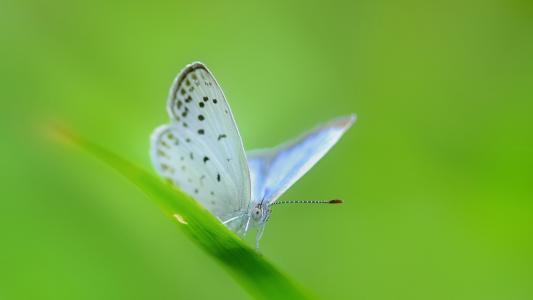 在一片绿色草叶的白色蝴蝶