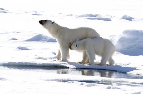 与一只小熊的大白熊