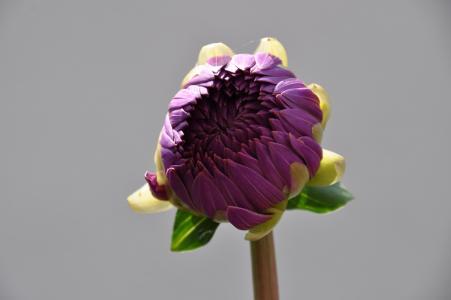 一朵大紫色花的芽在灰色背景的