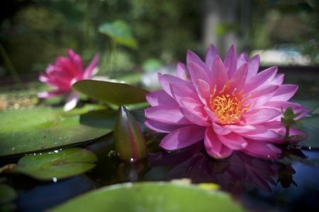 大型粉红色睡莲与水中的芽