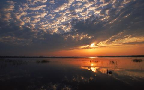 孤独的天鹅在湖上