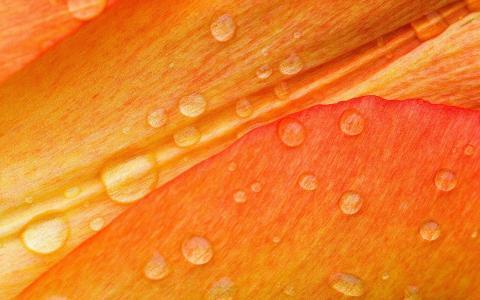 在花瓣,橙色背景的水滴