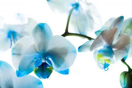 蓝色的兰花