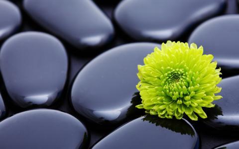 在黑石头的绿色菊花
