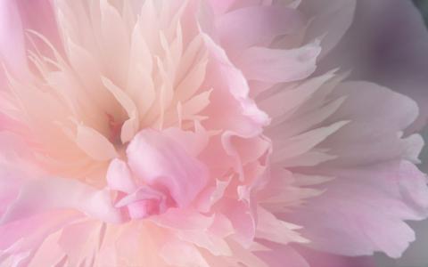 精致的粉红色花朵