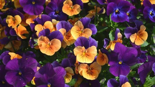 橙色和紫色的花朵