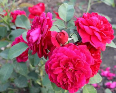 美丽的玫瑰布什在花园里