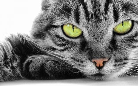 绿色的眼睛的猫