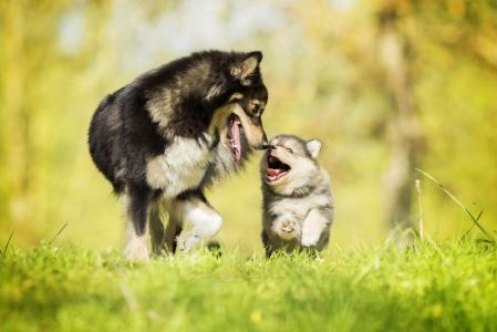 与一只快乐的小狗的灰色大狗