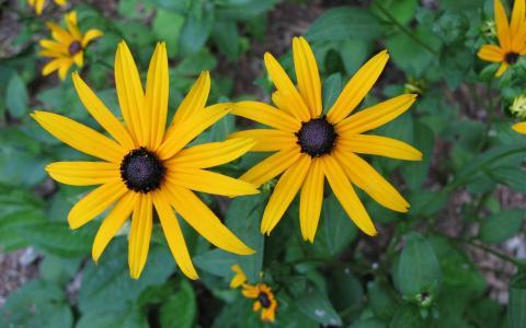 黄金菊两个大黄色花