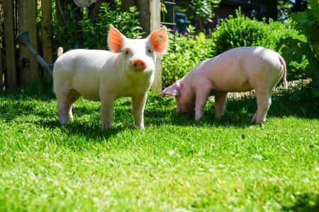 两个有趣的粉红色猪在绿色草地上