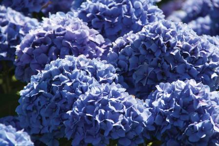 美丽的花八仙花属