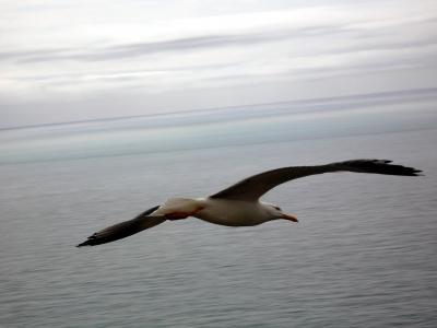 在飞行中的海鸥