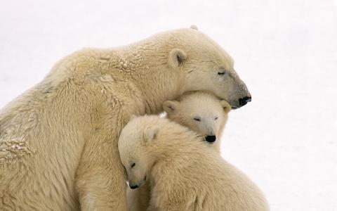 白熊和两只幼崽