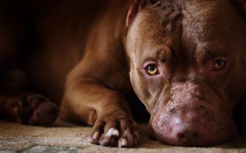 在地毯上的悲伤斗牛犬